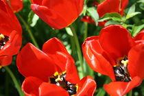 Tulpenbeet II by frankonia