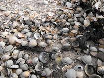 Muschelwahn von frankonia