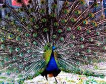 'Indian Blue Peafowl' von bebra