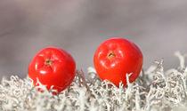 Rowan berries on a blanket of moss 2 von mary-berg