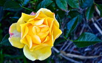 Yellow Rose and Blue Green Leaves by Christine Chase Cooper
