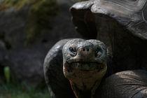 Riesenschildkröte in der Morgensonne von Gerhard Rainer