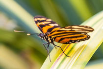 Tropical butterfly by Craig Lapsley