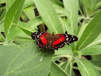 Rode-vlinder
