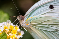 pale butterfly feeding close up by Craig Lapsley