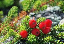 Rowan berries on the juniper by mary-berg