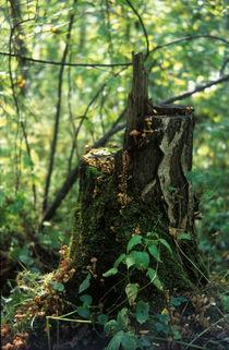 Old birch stub with mushrooms honey agarics by Roman Popov