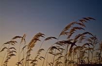 Cereals on the sky background von Roman Popov