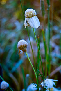 camomile flowers with Hoarfrost by Roman Popov