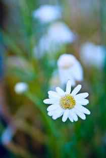 Daisy wheel flower with Hoarfrost von Roman Popov
