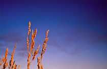Cereals on the deep violet sky background by Roman Popov