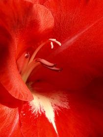 Der Gladiole ins Herz geschaut... von Brigitte Deus-Neumann