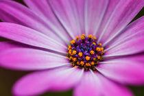 Blue Eyed African Daisy by Wayne Molyneux