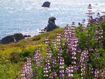 Lupines at Shell Beach by Christi Ann Kuhner