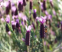 Honey Bee on Lavender by Christi Ann Kuhner