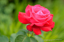 Deep-red-rose-3