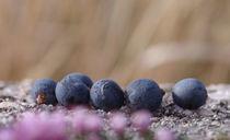 Juniper berries von mary-berg