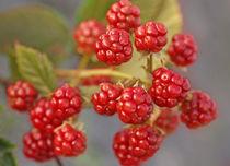 Wild blackberries von mary-berg