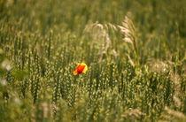 Blumen im Kornfeld -9- von Christine  Hofmann