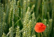 Blume im Kornfeld -7- by Christine  Hofmann