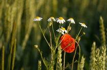 Blumen im Kornfeld -3- von Christine  Hofmann