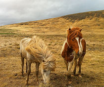 Icelandic horses in  a icelandic Nature by Kristjan Karlsson