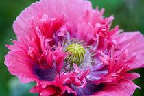 farbenprächtige wilde Mohnblume von Peggy Heidan