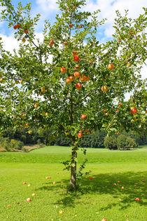 Apfelbaum von M. Ziehr