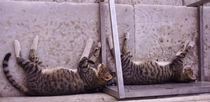 cat by emanuele molinari
