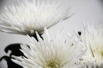 Chrysanthemen von Julia H.