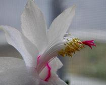Christmas Cactus Flower von bebra