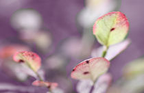 Autumn leaves of blueberry by mary-berg