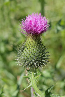 Eselsdistel - Scottish Thistle von ropo13