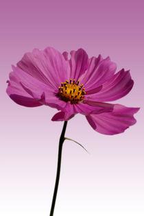 In voller Blüte by Bastian  Kienitz
