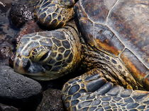 Turtle resting von Björn Kleemann