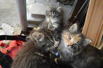 Three Kittens by Freddy Olsson