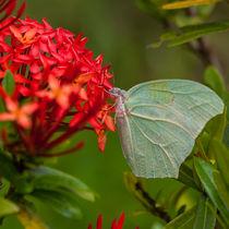 1473-ccc-light-green-butterfly