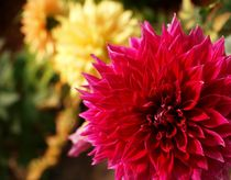 Divine Proportion Dahlia by Christi Ann Kuhner