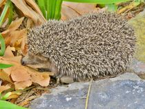 The Little Hedgehog  by Rick Todaro