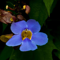 blue trumpet vine by Craig Lapsley