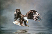 Bald Eagle About to strike by Brian Tarr