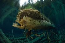 Rindenraubfisch von natur-wesen .eu