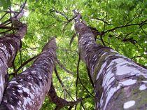 Sycamore Lichen Grove by Helen Pigott