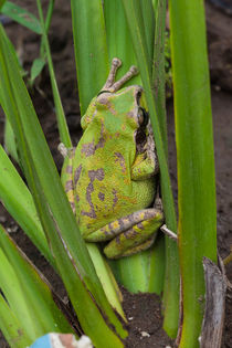 tropical green frog climbing a small plant von Craig Lapsley