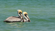 Two Pelicanos by with-your-eyes