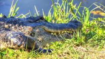 Alligator-mygall