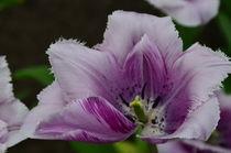 Tulipa Purple delight by Marcel van Duinen