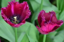 Tulipa Dark Purple by Marcel van Duinen