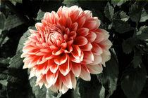 Dahlie by lorenzo-fp