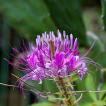 pretty knapweed flowers by Craig Lapsley